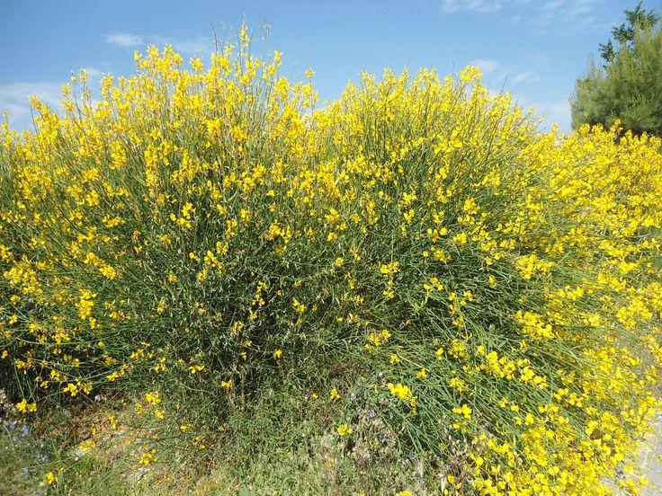 Gayomba retama de olor spartium junceum arq flora for Refresh significato
