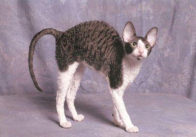 Top 10 rase de pisici care nu lasa par on http://www.fashionlife.ro