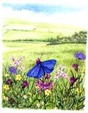 Watercolour illustration of a Common blue butterfly () in a field. Plant species include Devils bit scabious, Knapweed, daisey and buttercup.