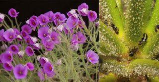 Плотоядные растения: Библис гигантский - Byblis gigantea