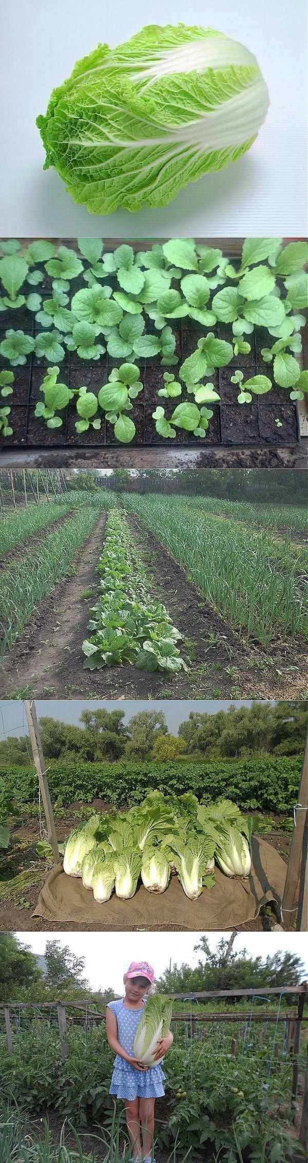 Как Пекинской угодить или два урожая за сезон.