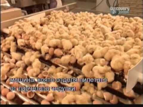 Maybe i can kinda see what peta is talking about How it's made - Mass production chickens