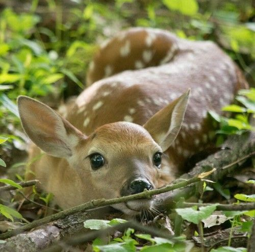 how to find a baby deer