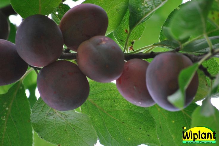 Prunus domestica 'Ave', medelstor frukt, mognar i augusti.