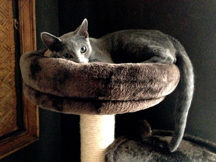 Zak loves the luxury rooftop and spend many hours there. Russian blue male 7 months old.