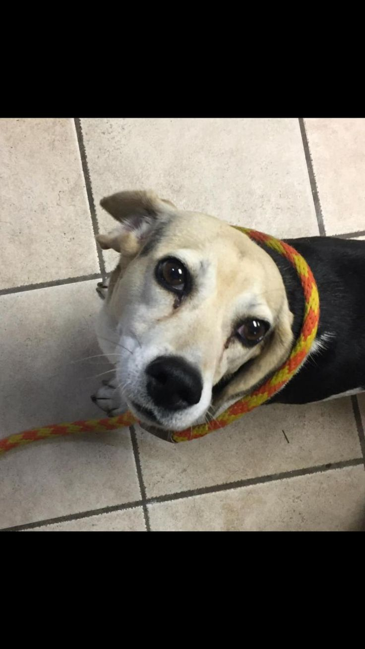 Fred is an adoptable Beagle searching for a forever family near Cape Girardeau, MO. Use Petfinder to find adoptable pets in your area.