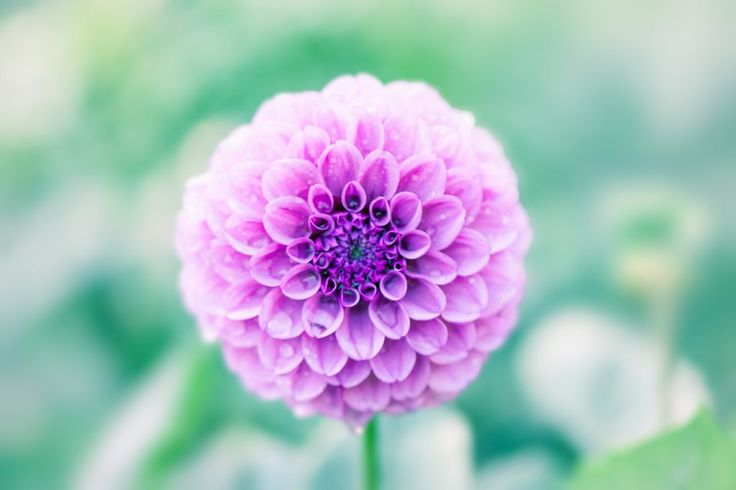 Flower of a dahlia, Morning dew and petal, Natural light How to grow chrysantemums? #Chrysanthemum #crisantemi #blossom #fioritura #howto #tips #comefare #pink #rosa #violet #purple #fucsia #autunno #autumn #fall #autumnflowers #amoifiori #flowerpower