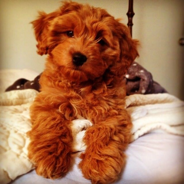 my red cockapoo puppy Philly <3