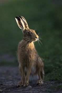 European brown hare on a farm track