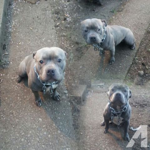 Blue Gotti Pitbull puppies