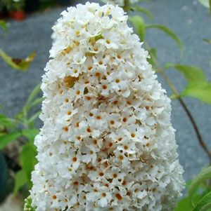 White Profusion Buddleia Plant  White Profusion Buddleia Plant Care and Growing Information Mature Height: 6-8 feet Mature Spread: 5-7 feet Exposure: Full Sun Flowering Time: Mid Summer through Early Fall Soil Moisture: Widely Adaptable Soil Type: Widely Adaptable Perennial in Zone 5-9