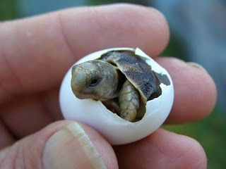 Egyptian Tortoise Baby - Tustudo kleinmanni - A new member of the family Testudinidae and hopefully many more will be bred as this species is actually  extinct in Egypt due to human activity