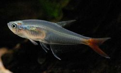 Рыбы-стекляшки