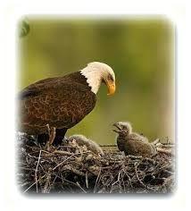 Image result for fotos de águias voando