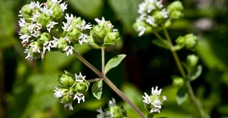 Măghiranul, planta aromatică care tratează durerile de cap persistente | Paradis Verde