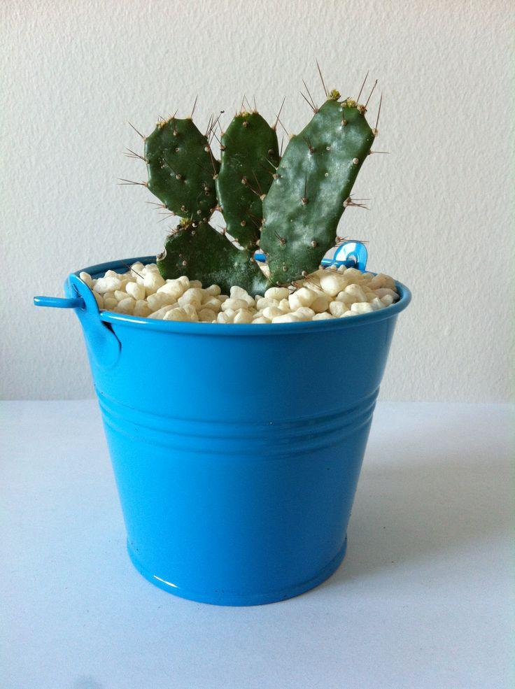 Cactus bleu www.plantites.com