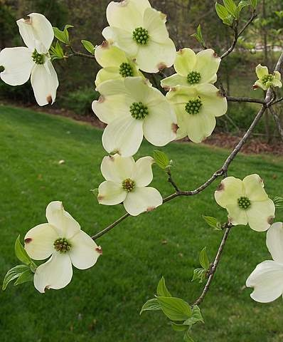 Dogwood trees in the Spring!  The pink ones are my favorite. We had them in our yard in CT