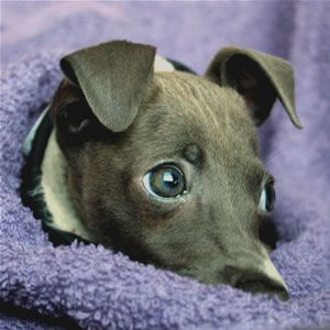 About Time Italian Greyhounds - Faith's Hope for a Miracle