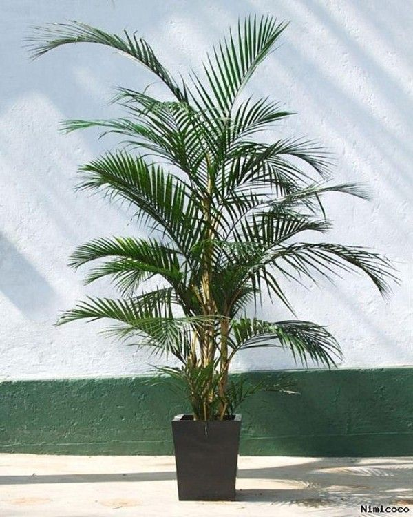 Potted areca palm plant - safe for cats