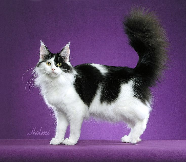#MaineCoon #Black#Solid #White #Cats  Photo by #HelmiFlick