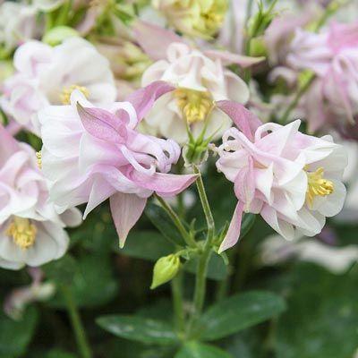 Winky Double Rose Columbine | Spring Hill Nurseries