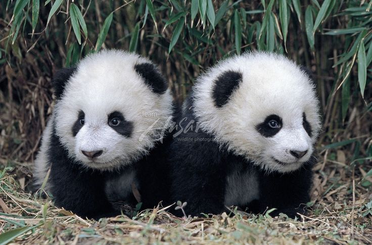 Twin giant panda cubs in a bamboo grove; Wolong Panda Reserve; Sichuan, China. If twins are born the wild, only one baby will survive. Researchers at the China Reserves have perfected a method of keeping both babies alive when they are born in captivity.  Photo