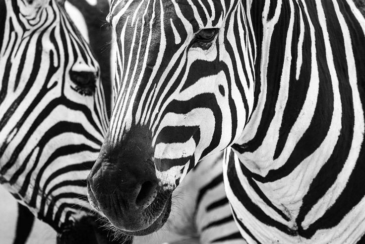 Sharing a few photos from my Tanzania Safari with @thomsonsafaris and #mckaylive - This is without a doubt one of my favorite photos from the trip. We saw all the big 5 (learn more at http://photorec.tv/big5) and while Zebras are not on that list they remain one of my favorite animals.  Captured with the Sony a6300 and Sigma 150-600mm C