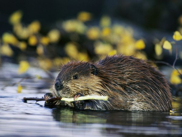 """Castor canadensis - winner of the """"Most Industrious Animal"""" award"""