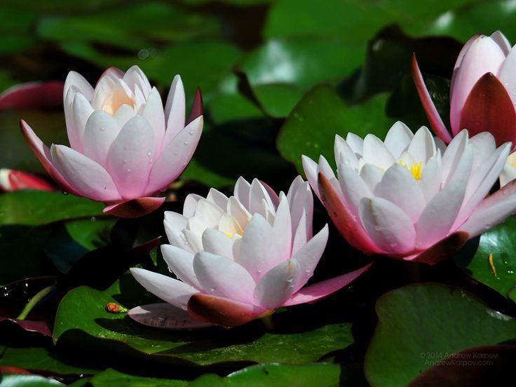 Frumoase-crini-de-apa-de-flori-de-fundal-imaginilor-474.jpg (1152×864)