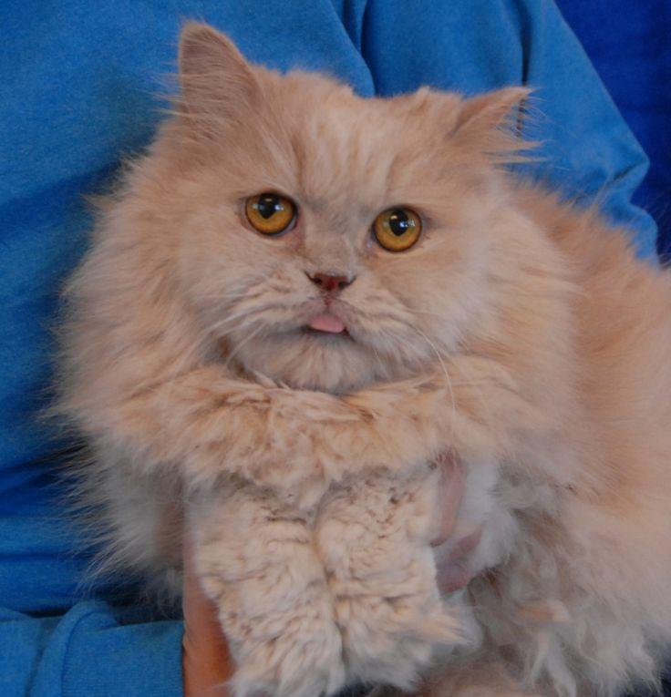 Persian Cat Rescue Atlanta Ga