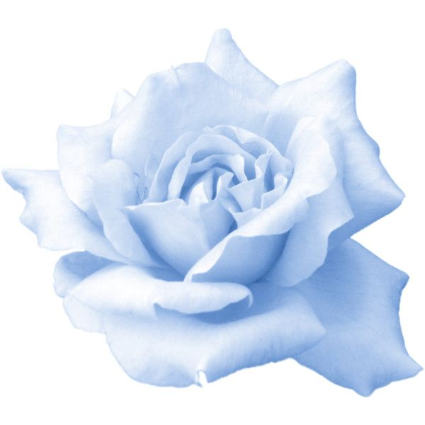 Rose Png 1445 Png Liked On Polyvore Featuring Filler Blue Flowers Background Blue Flower Png Flower Backgrounds