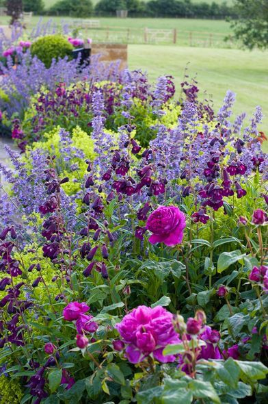 Penstamon, Nepeta and roses