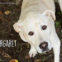 Liberty, Missouri - Labrador Retriever. Meet Maggie, a for adoption. https://www.adoptapet.com/pet/16860325-liberty-missouri-labrador-retriever