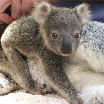 Port MacQuarie Koala Hospital- amazing place! Here is Tinkerbell, a rescued koala joey who seems to be flourishing under the expert care of volunteers at the Koala Hospital of Port Macquarie, Australia.