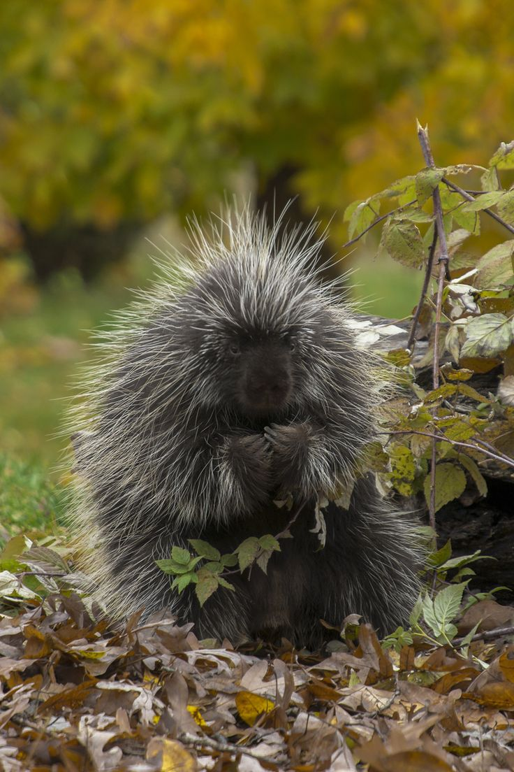 19 best Porcupines images on Pinterest | Wild animals, Animals and ...