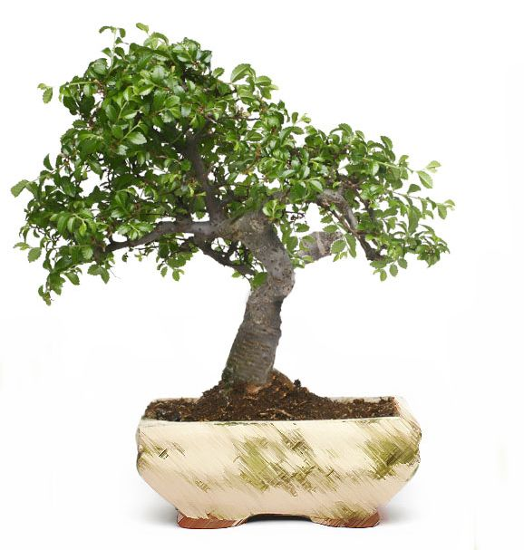 Article on the steps for how to bonsai