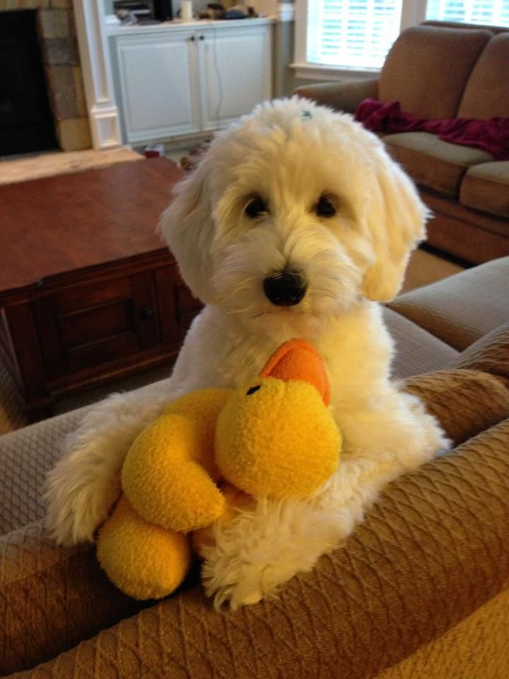 Goldendoodle English F1B Small - McDoodles.com