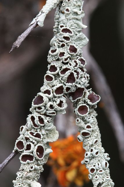 Lichen (by mic in the mallee, via Flickr)