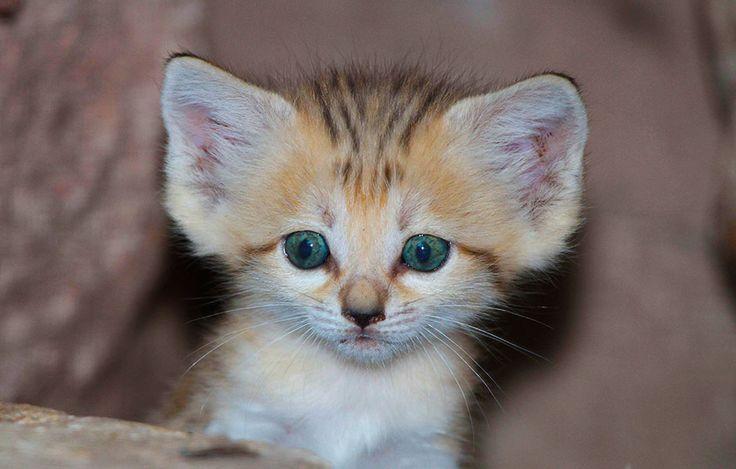 Die Katze, die nicht trinkt  Sie sieht nicht so aus, aber sie kann extrem heiß. Und manchmal auch extrem kalt. Als einzige Katze meistert die Sandkatze auch den harschen Lebensraum der Sandwüste. Dabei kommt sie in vier Gebieten vor: in der Sahara, auf der Arabischen Halbinsel, in der Karakum östlich des Kaspischen Meeres und in Pakistan. ...
