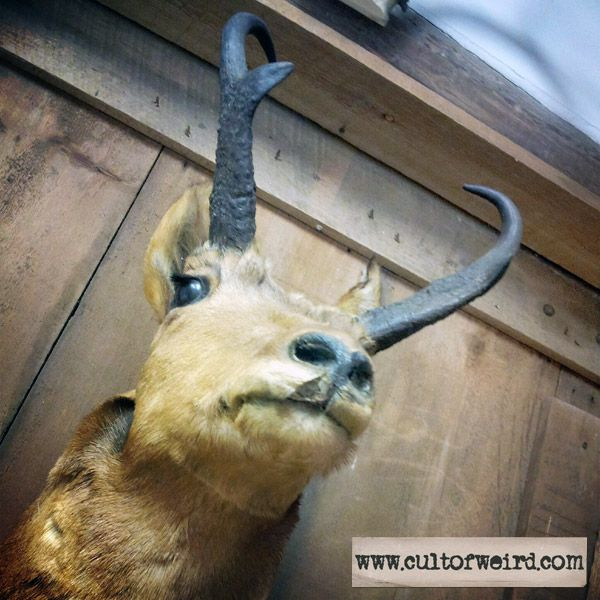 Antique antelope head taxidermy for sale - http://www.cultofweird.com/shop/antique-antelope-taxidermy/