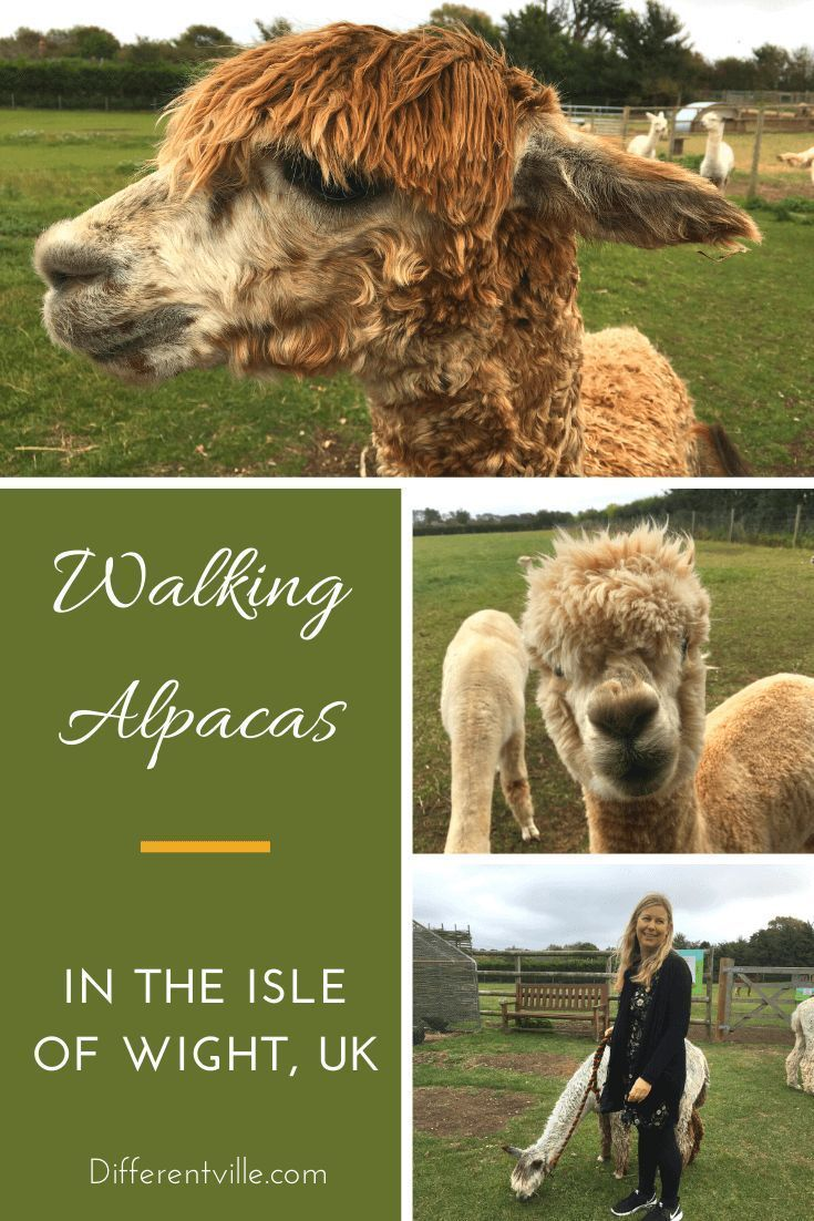 Walking Alpacas On The Isle Of Wight Cuteness Overload With