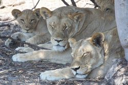 TWA-0000456 © WestPix Pride of two adult and three cub lions, resting in the shade on a hot afternoon. Seen in Chobe National Park on a full-day game drive from Ngoma Safari Lodge near Kazane, Botswana.