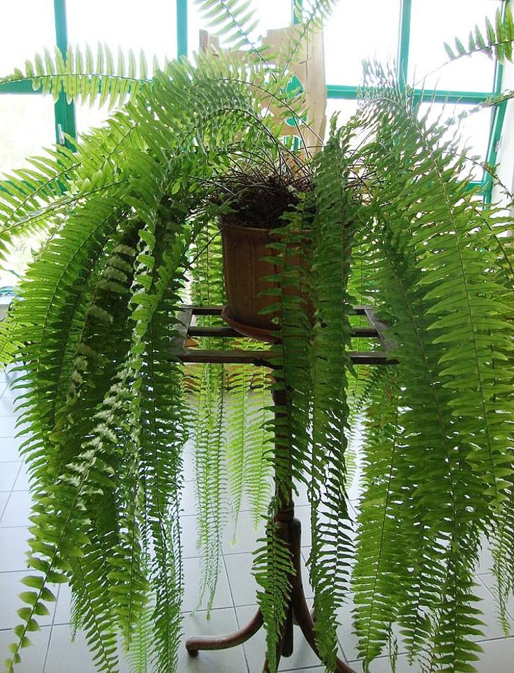 Ferns require medium light and are a great space filler. Hanging or on a table, make sure these guys have lots of room to grow!
