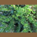 Buxus microphylla japonica 'Winter Gem'