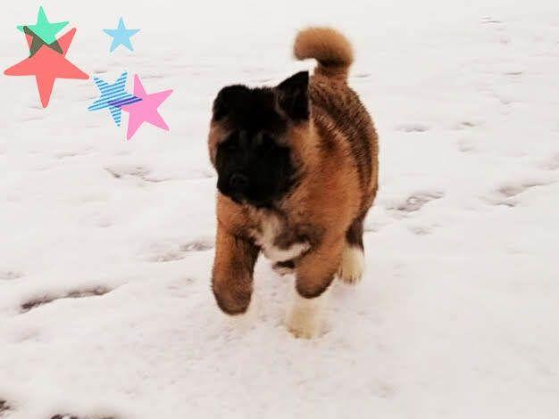 Akita Puppy For Sale In Lena Wi Usa Adn 118068 On Puppyfinder