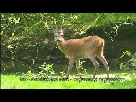 Wild Peers: Reewild - Roedeer - Capreolus capreolus - YouTube