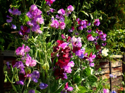 Sensuously scented Sweet Peas