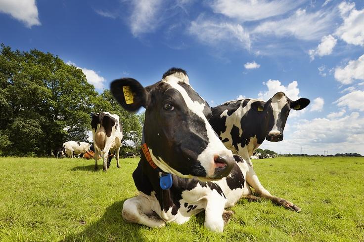 De biologische melk koeien van FarmCamps Hoeve Sonneclaer