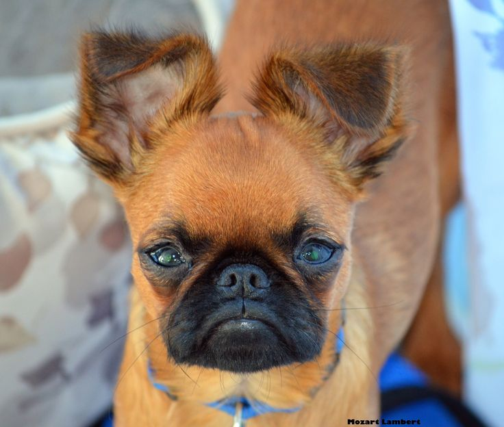 Smooth Coat Brussels Griffon