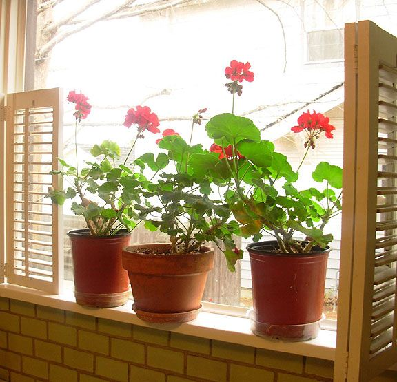 Best 25 geranium care ideas on pinterest caring for geraniums fertilizer for plants and - Overwintering geraniums tips ...